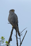 Kestrel, Grey