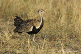 Bustard, Black-bellied