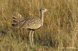Bustard, Black-bellied (male)