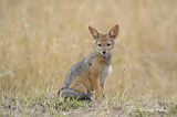 Jackal, Black-backed (pup)