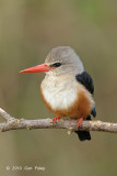 Kingfisher, Grey-headed