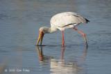 Stork, Yellow-billed