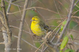 Canary, White-bellied
