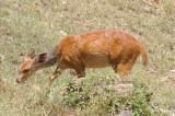 Bushbuck (ewe)