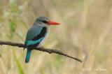 Kingfisher, Woodland