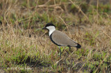 Lapwing, Spur Winged