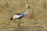 Crane, Grey Crowned