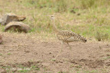 Bustard, Black-bellied (female)
