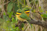 Bee-eater, Little