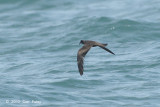Petrel, Swinhoe's Storm @ Straits of Singapore