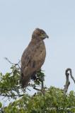 Eagle, Brown Snake