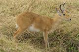 Reedbuck, Bohor (male)