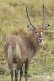 Waterbuck (male)