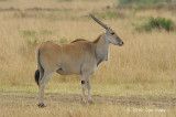 Eland, Common (female)