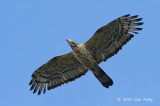 Buzzard, Oriental Honey (adult male) @ Khao Dinsor