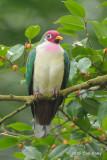 Dove, Jambu Fruit (male) @ Bukit Timah
