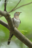 Cuckoo Indian (female) @ Bidadari