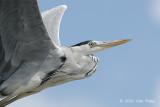 Heron, Grey @ Parit Jawa
