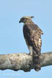 Eagle, Mountain Hawk @ Langkawi