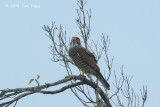 Buzzard, Grey-faced @ Langkawi