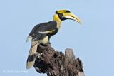 Hornbill, Great (male) @ Langkawi