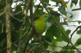 Leafbird, Blue-winged (female) @ Bukit Timah