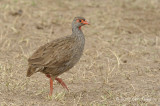 Francolin, Red-necked