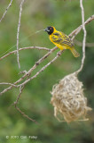 Weaver, Village (male) @ Fig Tree