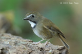 Flycatcher, White-gorgeted @ Doi Lang