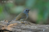 Flycatcher, Rufous-gorgeted (female) @ Doi Lang
