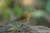 Bluetail, Himalayan (female) @ Doi Lang