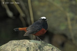Redstart, White-capped @ Doi Inthanon