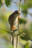 Babbler, Rusty-cheeked Scimitar @ Doi Lang