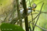 Babbler, White-browed Scimitar @ Doi Lang
