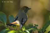 Minla, Chestnut-tailed @ Doi Inthanon