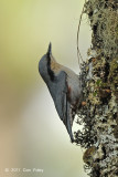 Nuthatch, Chestnut-vented @ Doi Chiang Dao