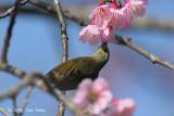 Sunbird, Mrs. Gould's (female) @ Doi Chiang Dao
