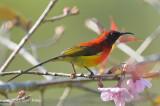 Sunbird, Mrs. Gould's (male) @ Doi Chiang Dao