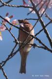 Rosefinch, Common (male) @ Doi Inthanon