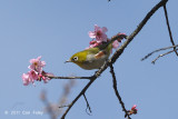 White-eye, Chestnut-flanked @ Doi Chiang Dao