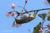 White-eye, Chestnut-flanked @ Doi Inthanon
