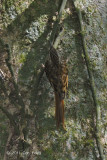 Treecreeper, Hume's @ Doi Inthanon