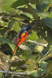 Minivet, Scarlet (male) @ Doi Lang