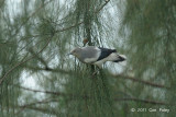 Starling, White-shouldered @ Changi
