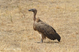 Vulture, White-backed