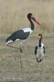 Stork, Saddle-billed (pair)