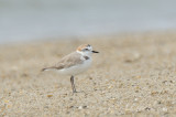 Plover, White-faced @ Changi