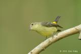 Flycatcher, Yellow-rumped (female) @ Bidadari