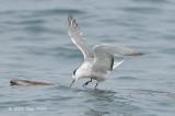 Tern, Aleutian @ Straits of Singapore