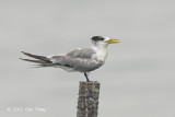 Tern, Greater Crested @ Malacca Straits